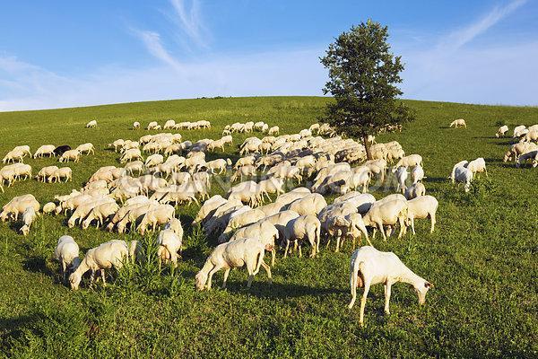 托斯卡纳羊生长的地方